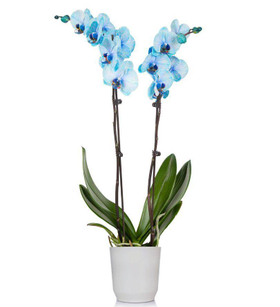 Large Watercolor Blue Orchid